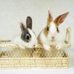 ウサギの引越し